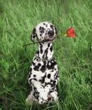 Chien dans l'amour avec la rose de rouge dans la bouche sur l'herbe Image stock