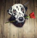 Chien dans l'amour avec la rose de rouge dans le présent de bouche il Photos stock