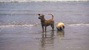 Chien dans l'eau Sur la plage dans le volleyball d'océan Chien avec son jeu dans l'eau Vagues du cirage et de l'affaiblissement banque de vidéos