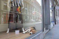 Chien dans la boutique - Berne Photos libres de droits