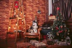 Chien dans la chaise dans l'intérieur de Noël avec les éléments décoratifs Photo stock