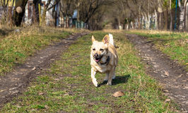 chien dans la course Photos stock