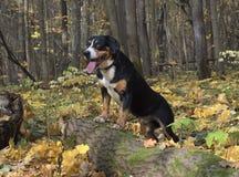 Chien dans la forêt d'automne images libres de droits