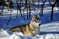 Chien dans la neige Photo libre de droits