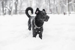 Chien dans la neige d'hiver image libre de droits
