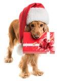 Chien dans le chapeau de Santa avec une bouche de cadeau Photos libres de droits