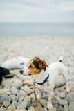 Chien dans le collier posant sur la plage Photo stock