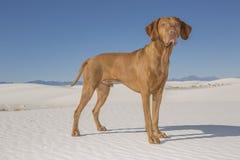 Chien dans le désert blanc de sable Photographie stock