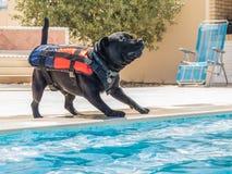Chien dans le gilet de sauvetage jouant par une piscine Photo libre de droits