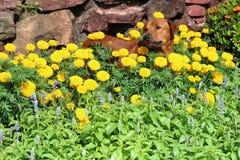 Chien dans le jardin avec des fleurs photos stock