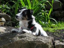 Chien dans le jardin se couchant avec des pattes sur la roche Image libre de droits
