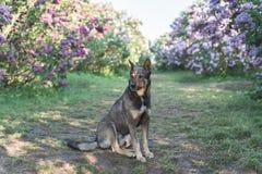 Chien dans le jardin sous les buissons lilas Photographie stock
