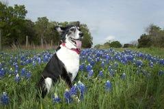 Chien dans les Bluebonnets Photographie stock libre de droits