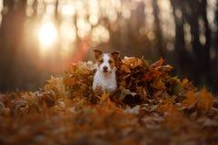 Chien dans les feuilles d'automne fonctionnant en parc Jack Russell Terrier drôle et mignon photographie stock libre de droits