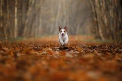 Chien dans les feuilles d'automne fonctionnant en parc Jack Russell Terrier drôle et mignon image libre de droits