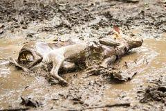 Chien dans un magma de boue Photo stock