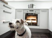 Chien dans une cuisine Photo libre de droits