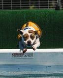 Chien dans une plongée de flottement de gilet dans la piscine Photo libre de droits