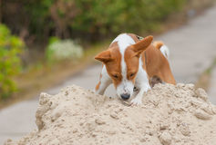 Chien de Basenji dans l'étape de chasse Photo stock