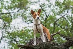 Chien de Basenji se tenant sur une branche d'arbre et regardant vers le bas Photographie stock