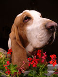 Chien de basset Photo libre de droits