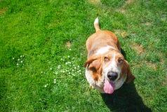 Chien de basset de Dorable dans le visage de sourire se tenant dans le fil d'herbe verte photographie stock