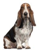 Chien de basset-hound, 6 années, se reposant images libres de droits