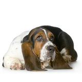 Chien de basset - Hush Puppies Photo libre de droits