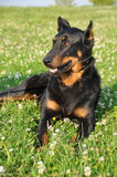 Chien de Beauceron photo libre de droits