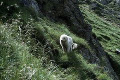Chien de berger Photographie stock libre de droits