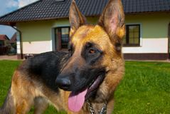Chien de berger allemand photo stock