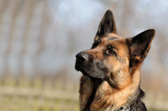 Chien de berger allemand Photo libre de droits