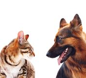 Chien de berger allemand aux cheveux longs et un chat. Photos libres de droits