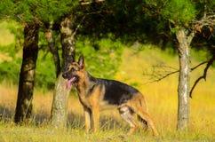 Chien de berger allemand dans la forêt, été Photo stock