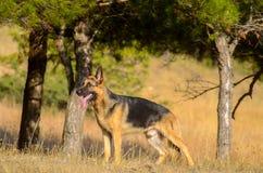 Chien de berger allemand dans la forêt, été Photographie stock libre de droits