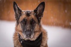 Chien de berger allemand regardant l'appareil-photo tandis qu'arou de chute de flocons de neige Images stock
