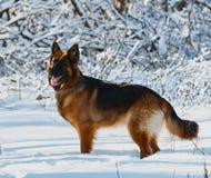 Chien de berger allemand se tenant dans la neige, forêt d'hiver Photographie stock libre de droits