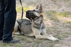 Chien de berger allemand se trouvant au sol, utilisant un museau, regardant son propriétaire Image stock