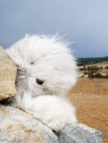 chien de berger anglais de crabot vieux Photo libre de droits
