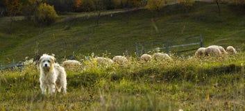 Chien de berger avec le troupeau derrière lui images libres de droits