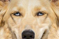 Chien de berger blanc avec des yeux bleus Une fin vers le haut de verticale Images stock