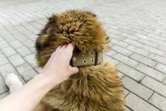 Chien de berger caucasien de chien deux ann?es photos libres de droits