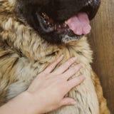 Chien de berger caucasien de chien deux ann?es image libre de droits