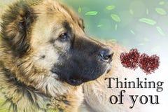 Chien de berger caucasien de chien deux ann?es Pens?e ? vous - carte image stock