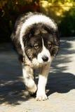 Chien de berger caucasien pelucheux dans la cour photos libres de droits