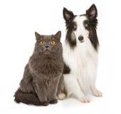 Chien de berger d'îles Shetland et chat gris Image stock