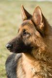 chien de berger de Moscou Images libres de droits