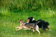 Chien de berger de Shetland, Sheltie, milieu de Collie Play With Mixed Breed Images stock