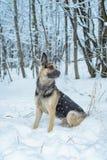 Chien de berger en hiver photos stock
