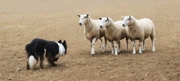 Chien de berger et les moutons Photo libre de droits